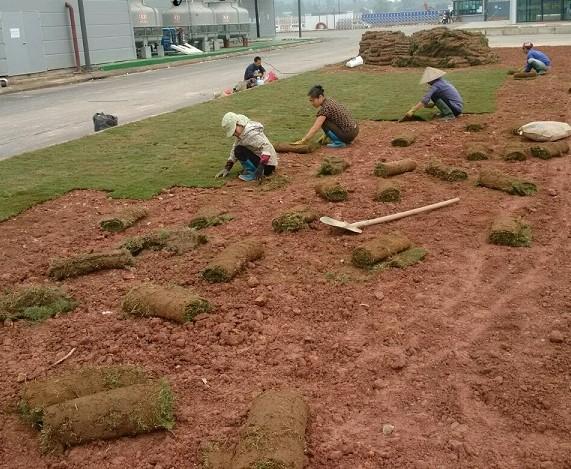 Dịch vụ trồng cỏ tại KCN VISIP Bình Dương